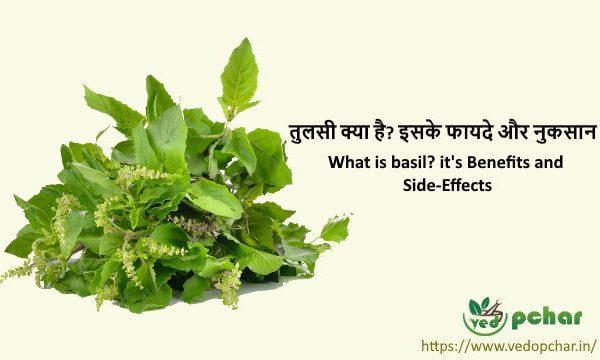 Tulsi in hindi : तुलसी(Basil) क्या है? इसके फायदे और नुकसान